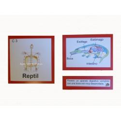 Nomenclatura reptil anatomía interna