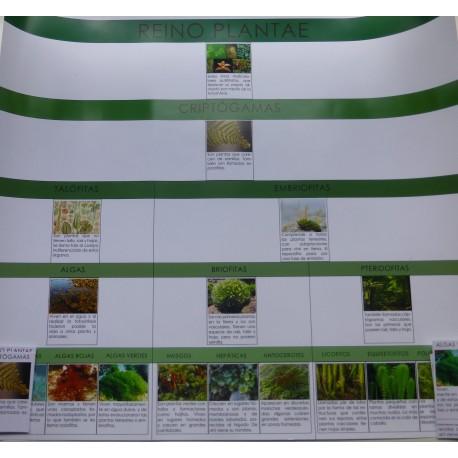 Cartel clasificación de plantas: criptógamas