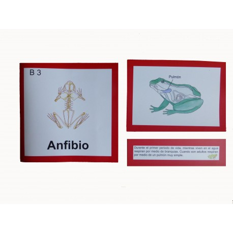 Anfibio anatomía interna
